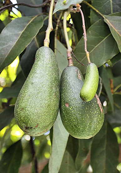 Avocados are healthy fats that you can eat